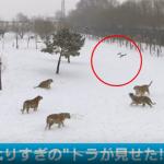"""【ほっこり】""""ぽっちゃりトラ""""ドローンを狩る"""