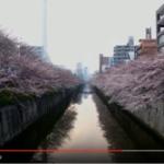 【絶景】目黒川の桜はドローン目線でみるとまた違った魅力があります!